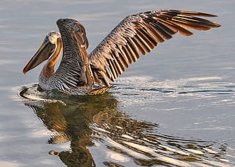 Gray and brown pelican on body of water during daytime