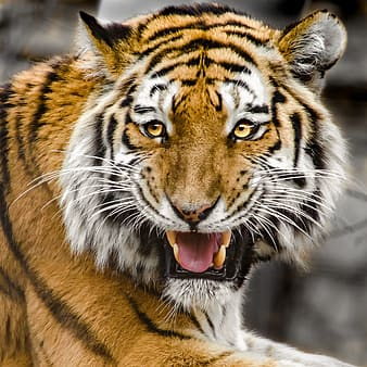 Wild life photography of roaring tiger
