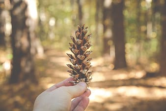 Selective focus photography of person holding brown pine cone