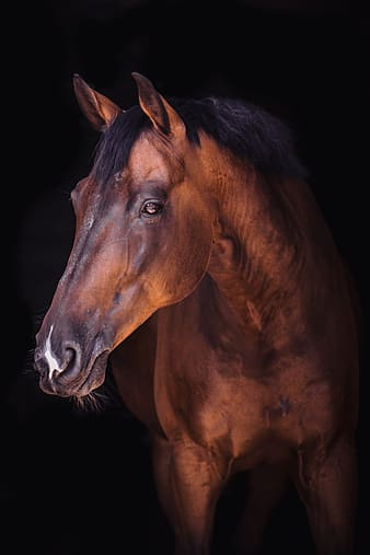 Brown horse with white background