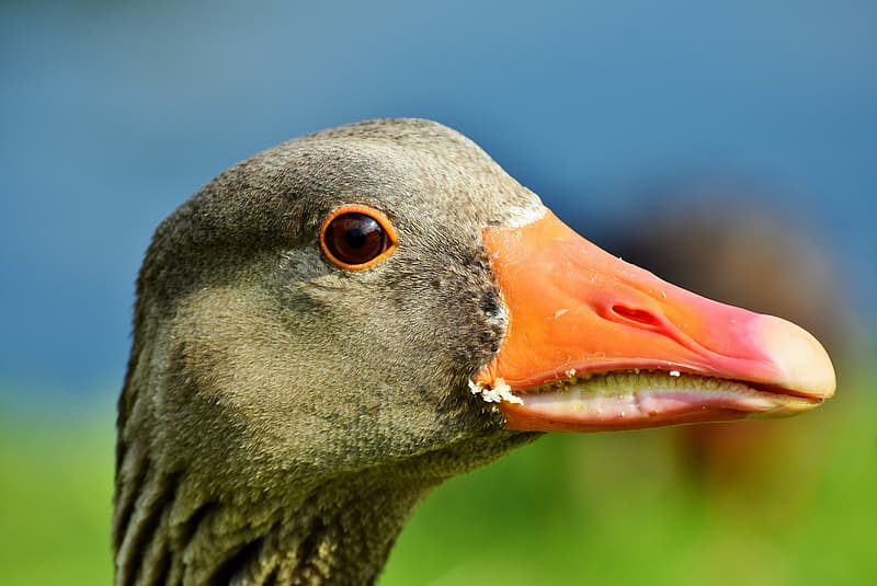 Shallow focus photography of gray duck