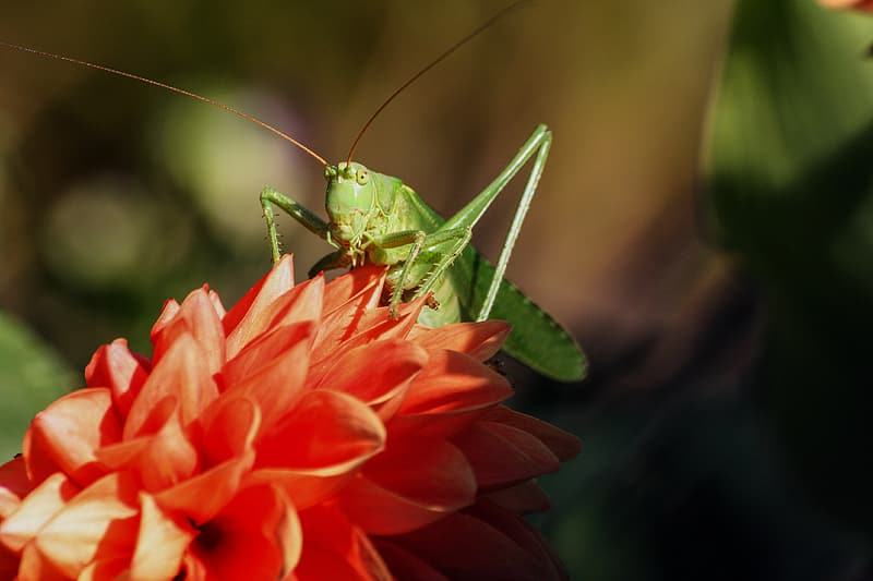 Selective focus photography of green grasshopper perched on pink petaled flower