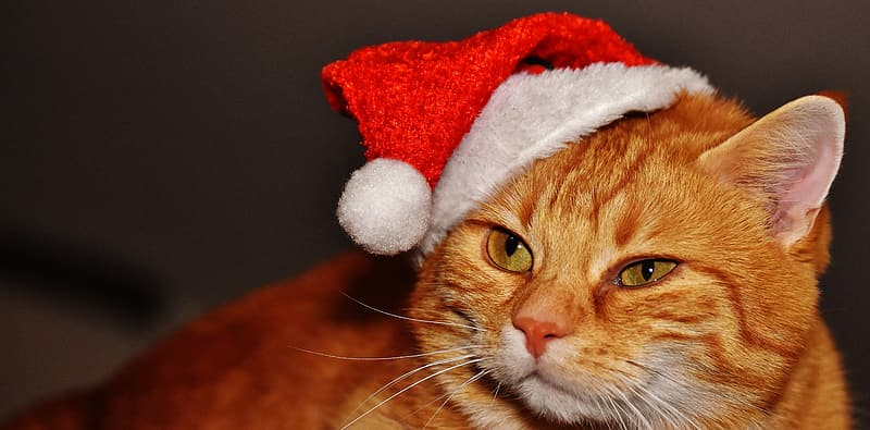 Orange Tabby cat wearing Santa hat