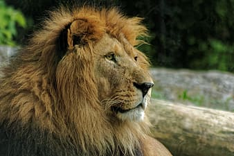 Macro photography of lion during daytime