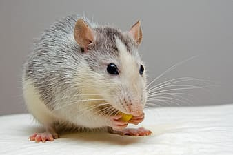 Brown and white rodent holding food standing on white textile
