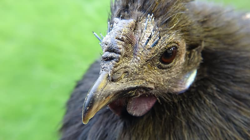 Brown and black chicken chick