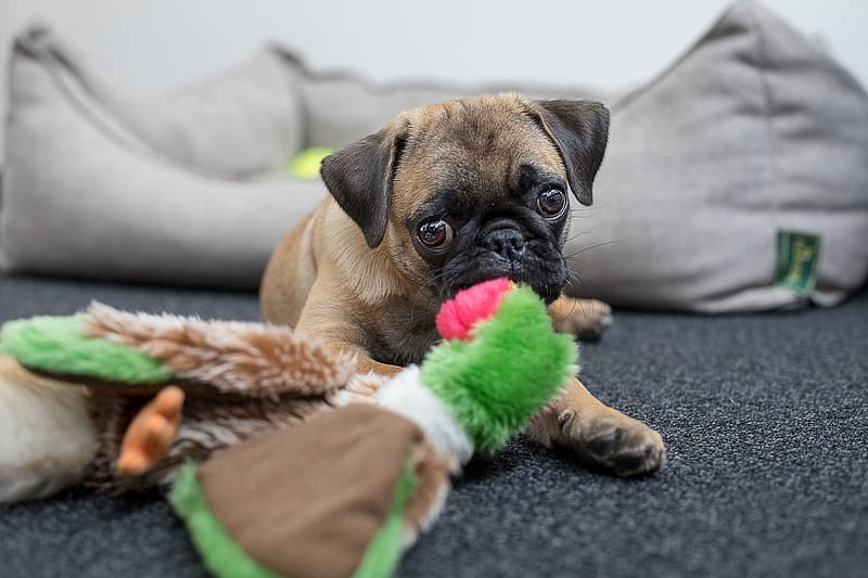 Fawn pug puppy on selective focus photo