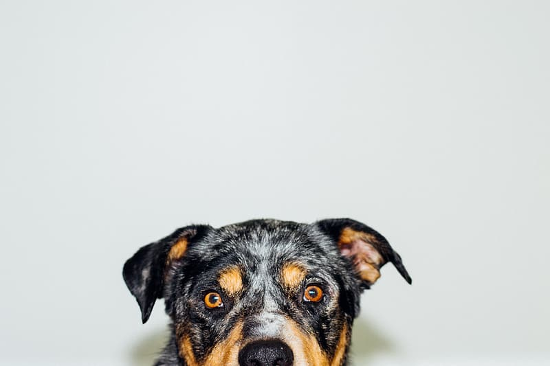 Short-coated black and brown dog