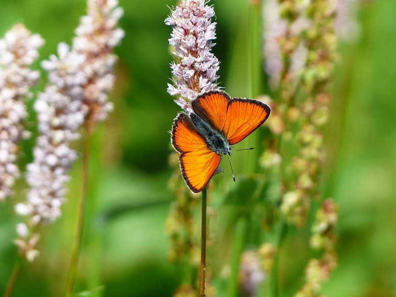 Selective focus photo of orange butterfly on pink petaled flower