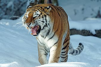 Siberian tiger walking on snow