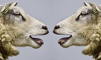 Closeup photo of two white sheep