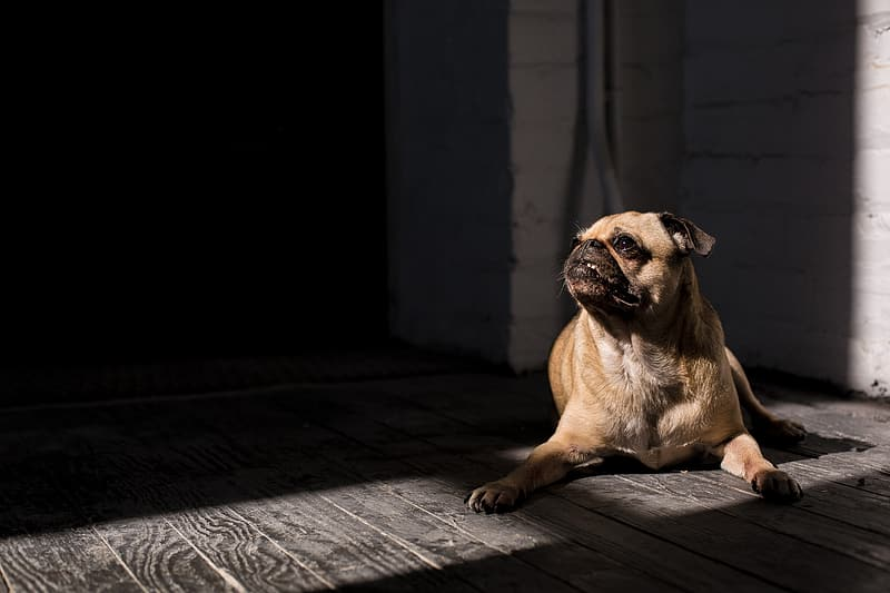 Fawn pug on gray wooden floor