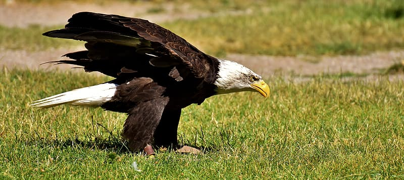 Bald eagle on the ground