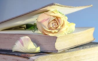 White rose in bookpage