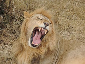 Roaring lion lying on grass
