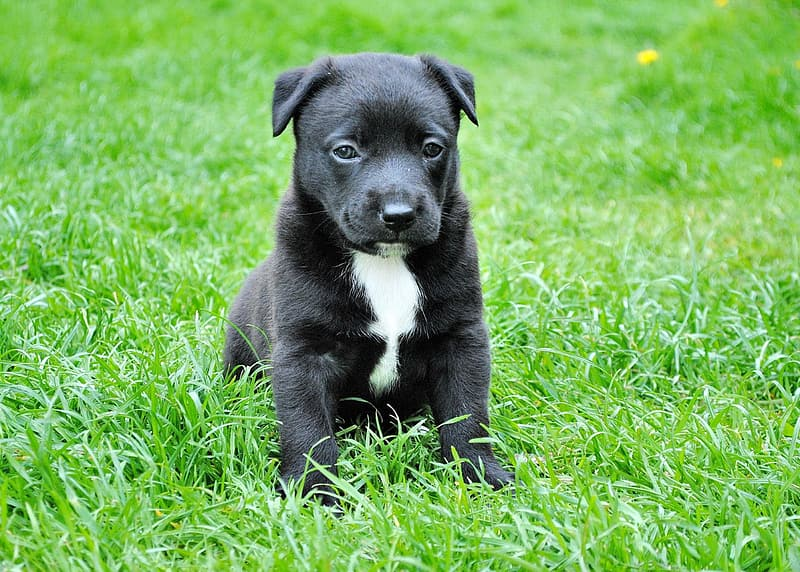 Short-coated black and white puppy on green grass