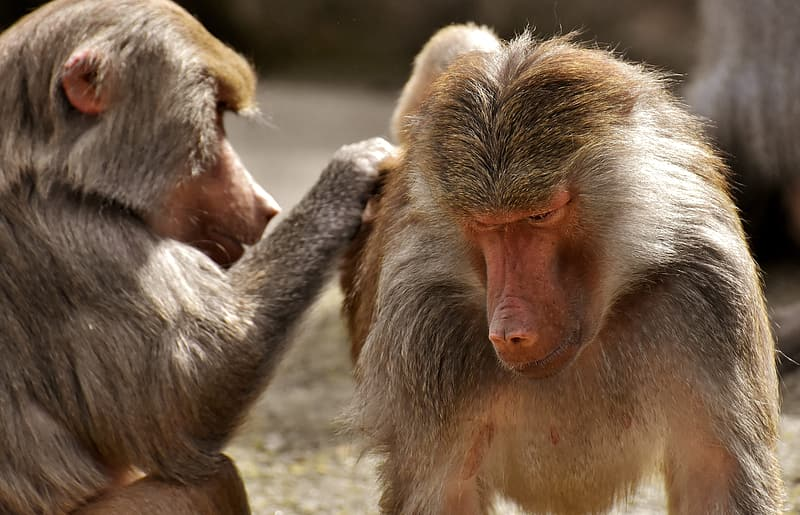 Monkey looking for lice of another monkey