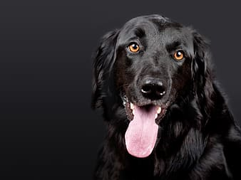 Closeup photo of short-coated black dog