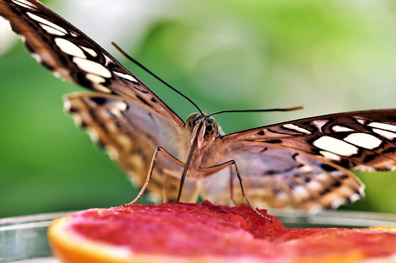 Black and white butterfly on sliced watermelon