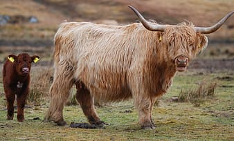 Brown highland cattle and calf