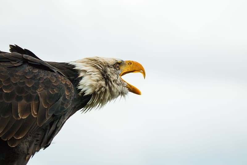 Focus photography of bald eagle