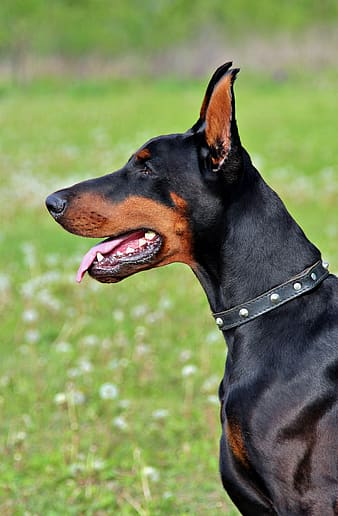 Doberman looking at its direction