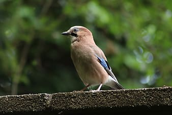 Blue and white bird on brown wooden surface