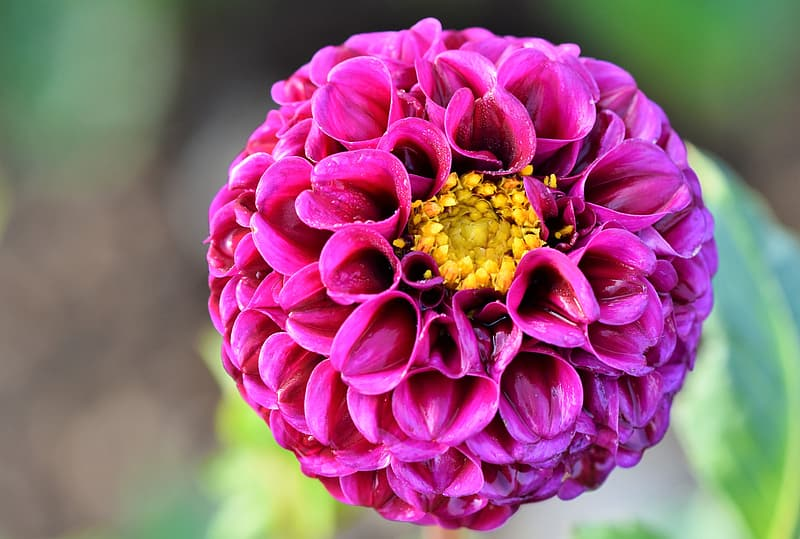 Pink dahlia in bloom during daytime