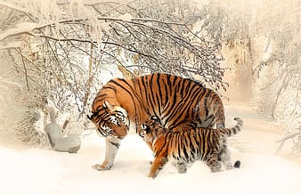 Orange tiger and cub standing near bare tree covered with snow