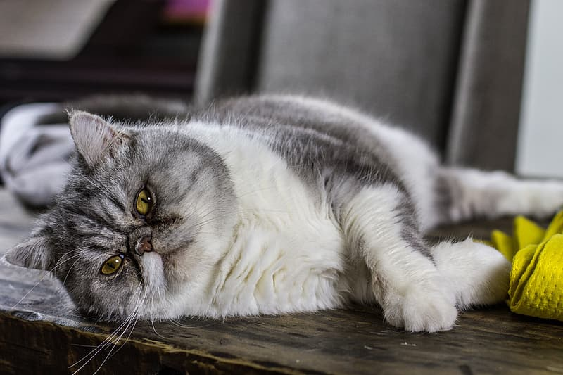 Long-coated white and gray cat leaning on top of gray surface