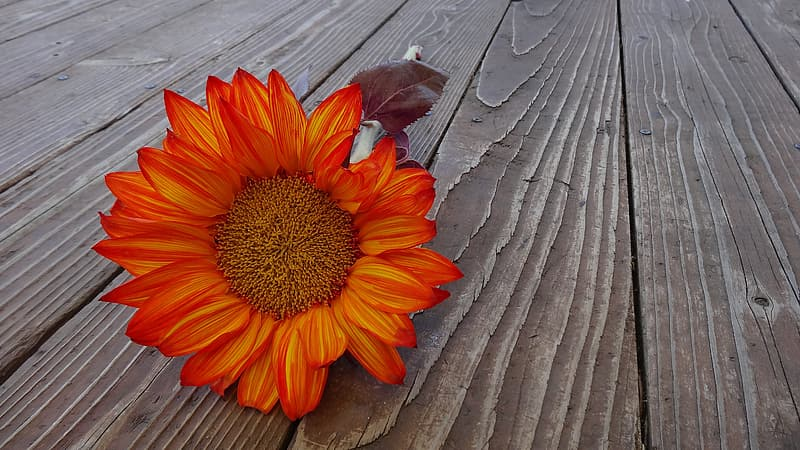 Low angle photograph of orange sunflower on wood pallet