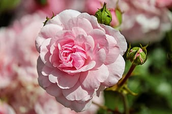 Focus photo of pink petaled flower