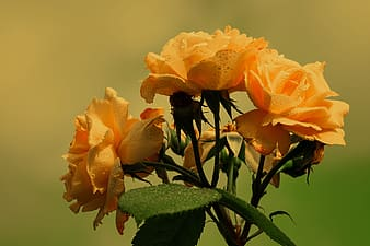 Close-up photography of yellow roses in bloom