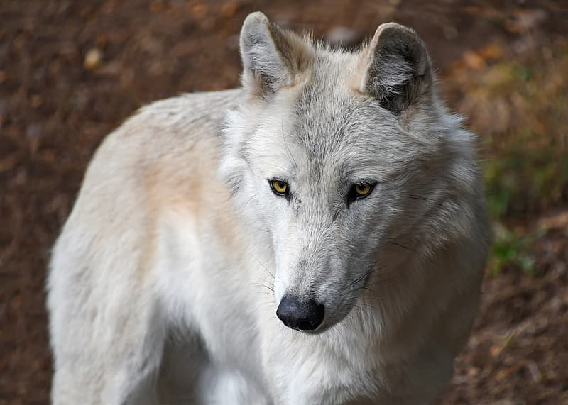 White wolf in close up photography
