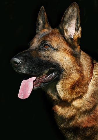 Closeup photo of adult black and tan German shepherd