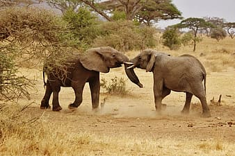 Photo of two black elephants facing each other