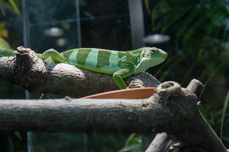Green and white lizard on brown tree branch