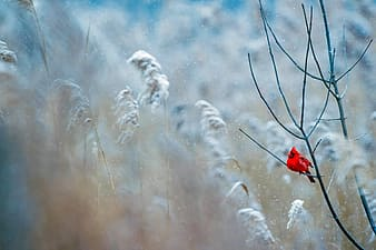 Red cardinal perched on white snow covered plant during daytime
