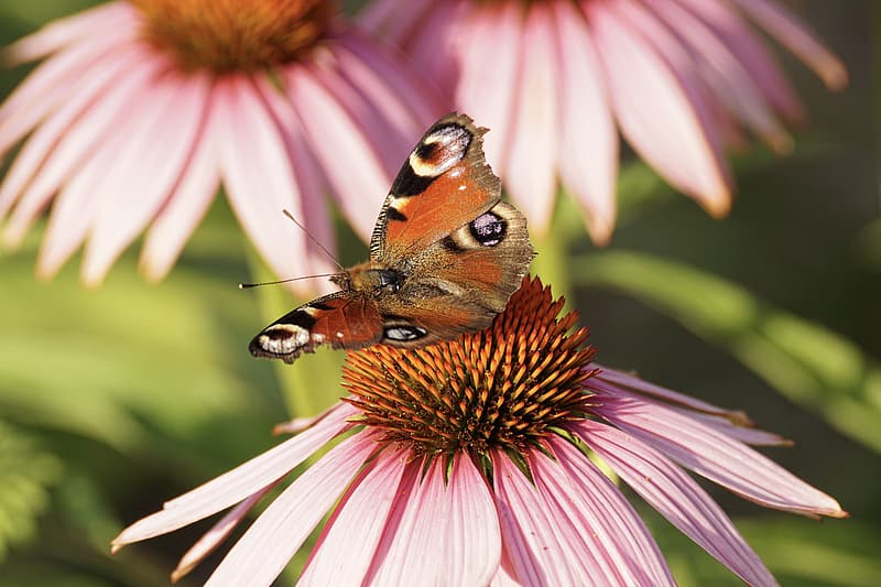 Selective focus of butterfly on pink flower
