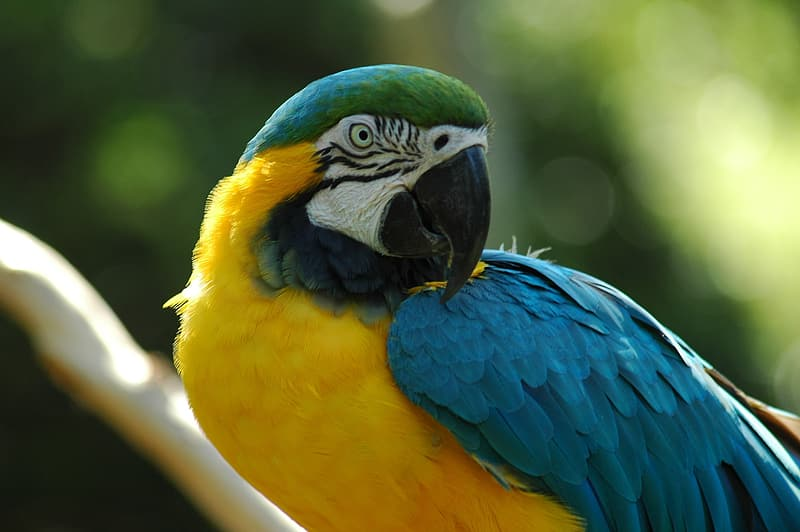 Yellow, blue, and green parrot