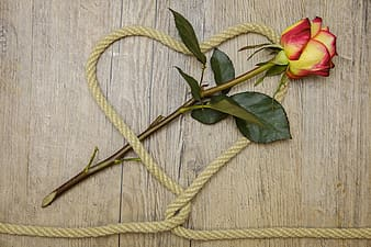 Yellow and red rose flower with brown rope