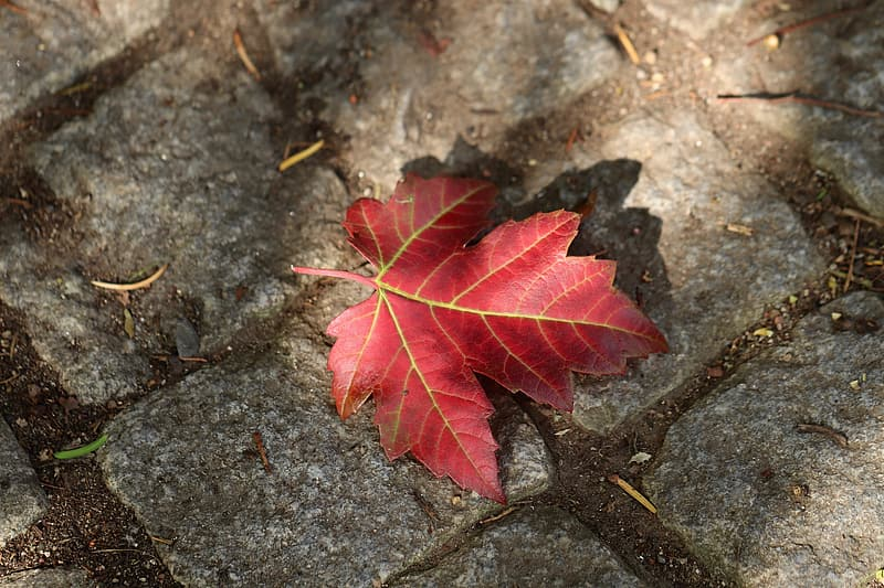Red and green maple leaf on gray concrete ground