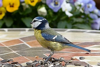 Blue and yellow bird in brown seed lot