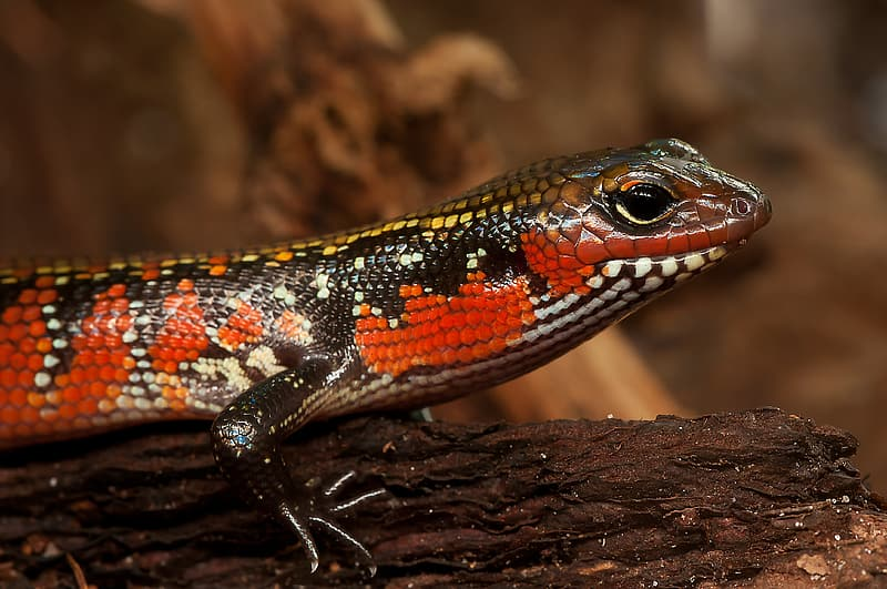 Selective focus photograph of red and black lizard