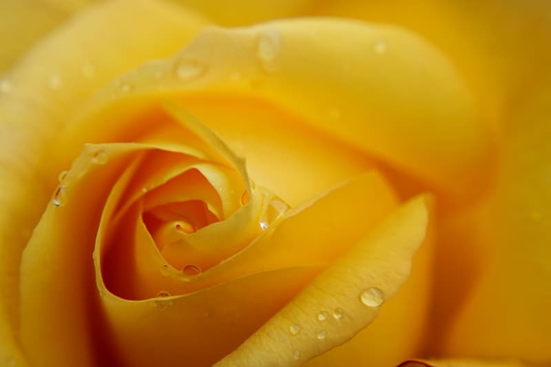 Yellow rose in bloom with dew drops