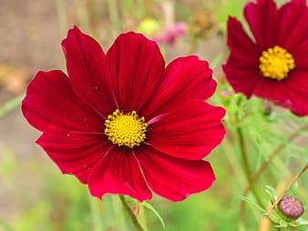 Selective focus photography of red cosmos flowers