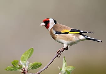 Yellow black and red bird on brown tree branch