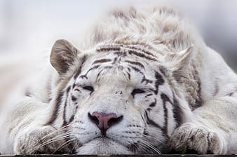 Shallow focus photography of white tiger