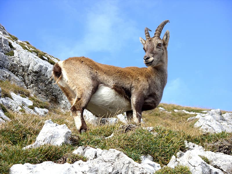 Brown antelope on rocky mountain hill at day time