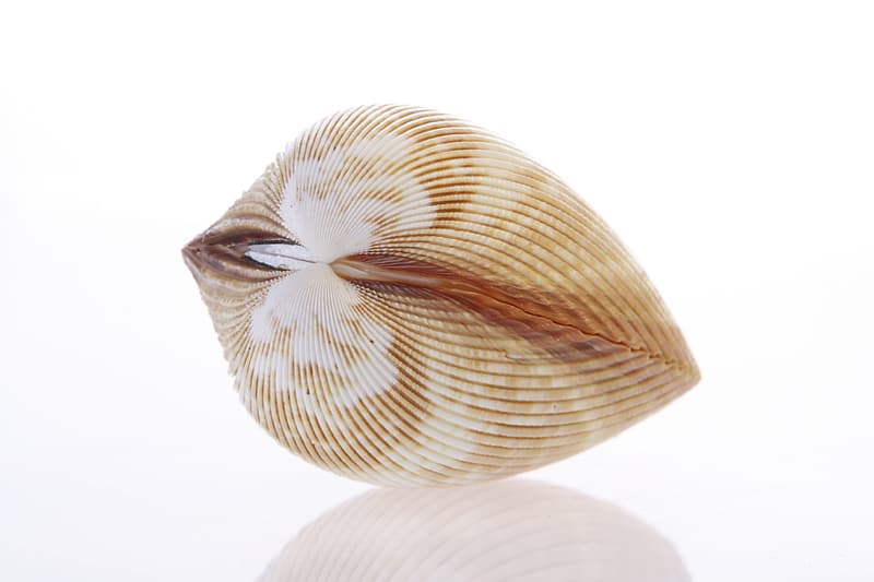 White and brown shell on white background